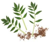 Valerian Herb Royalty Free Stock Photos