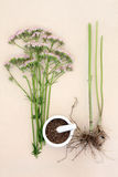 Valerian Herb Stock Images