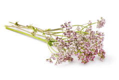 Valerian. Herb flower sprigs on a white background Royalty Free Stock Photos