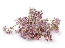 Valerian. Herb flower sprigs on a white background Stock Images
