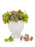 Valerian and Ladys Mantle Herbs Royalty Free Stock Image