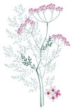 Valerian, meadow plant. Valerian, a flowering meadow plants on a white background stock illustration