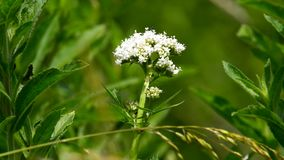 Valerian, medicinal herb with flower. In Germany stock video footage