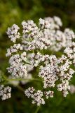 Valerian (Valeriana officinalis). Medicinal herb whose roots in pharmacology and phytotherapic medicine may be used for certain effects including sedation and royalty free stock photos