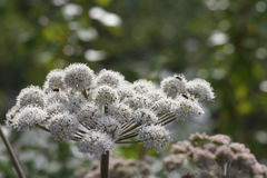 Valerian Valeriana-officinalis in bloei Stock Afbeelding