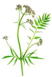 Valerian (Valeriana officinalis). Flowering plant isolated in front of white background Stock Images