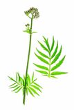 Valerian (Valeriana officinalis) Stock Photos