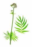 Valerian (Valeriana officinalis) Stock Photos