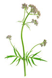 Valerian (Valeriana officinalis) Royalty Free Stock Photo