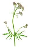 Valerian (Valeriana officinalis) Royalty Free Stock Photo