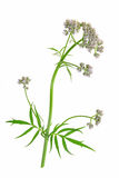 Valerian (Valeriana officinalis) Stock Images