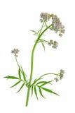 Valerian (Valeriana officinalis) Stock Images