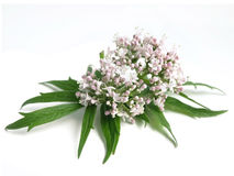 Valerian Valeriana officinalis Stock Photo
