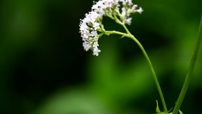 Valerian,Valeriana officinalis, medicinal herb with flower. Camera drive stock video footage