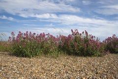 Valerian vermelho na praia de Aldeburgh, Suffolk, Inglaterra Fotografia de Stock