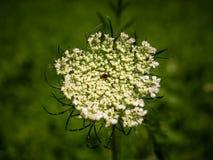 Valerian white flower Royalty Free Stock Photo
