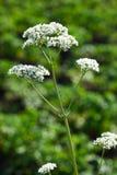 valeriana валериана officinalis травы Стоковые Изображения RF