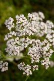 valeriana валериана officinalis Стоковые Фотографии RF