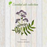 Valeriana, etiqueta del aceite esencial, planta aromática Foto de archivo