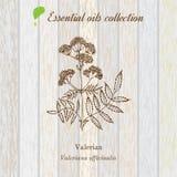 Valeriana, etiqueta del aceite esencial, planta aromática Fotografía de archivo libre de regalías