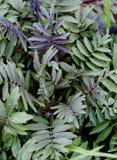 Valeriana för vårbarnsidor Royaltyfri Bild