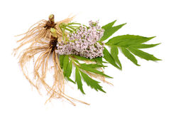 Valeriana isolated. Royalty Free Stock Photos