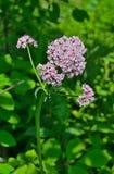 Valeriana medicinal 7 de la hierba Imagenes de archivo