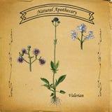 Valeriana natural do farmacêutico Foto de Stock