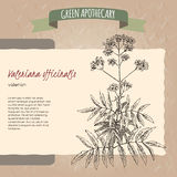 Valeriana officinalis aka Valerian sketch. Green apothecary series. Great for traditional medicine, or gardening Royalty Free Stock Images