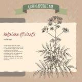 Valeriana officinalis aka Valerian sketch Royalty Free Stock Images