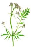 Valeriana (officinalis del Valeriana) Imagenes de archivo