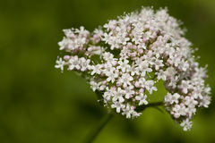 Valeriana officinalis Royalty Free Stock Photo