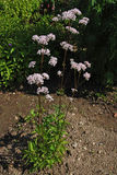 Valeriana officinalis Royalty Free Stock Photos