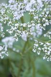 Cose up of the valerian plant flowering in the garden stock photography