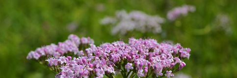 Valeriana officinalis Valeriana officinalis L., widely used as a medicine. royalty free stock photo