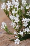 Valeriana officinalis white flowers closeup vertical Stock Photography