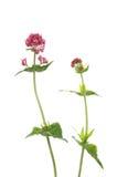 Valeriana roja Fotos de archivo libres de regalías
