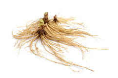 Valeriana root isolated. Stock Image