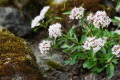 Valeriana tripteris Royalty Free Stock Images