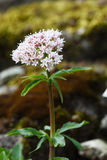 Valeriana tripteris Stock Photo