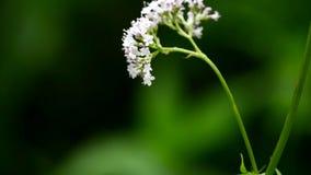 Valeriana Valerianaofficinalis, medicinsk ört med blomman lager videofilmer