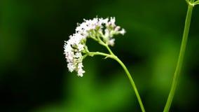Valeriana Valerianaofficinalis, medicinsk ört med blomman stock video