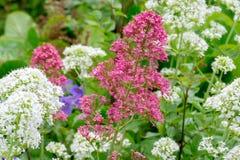 Valeriana vermelha e branca fotografia de stock royalty free