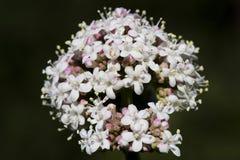 Valerianaceae Stock Fotografie