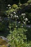 Valerianawolgensis Arkivfoton