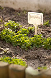 valerianella σαλάτας locusta καλαμποκι&omic στοκ φωτογραφία