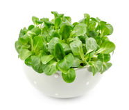 Valerianella lettuce Royalty Free Stock Photo