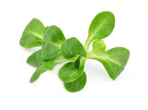 Valerianella lettuce Stock Images