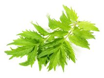 Valeriano fresco - nutrizione sana immagine stock libera da diritti