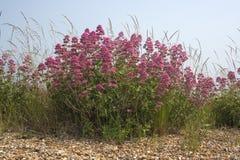 Valeriano rosso (ruber del Centranthus) sulla spiaggia di Aldeburgh, Suffolk, en Fotografie Stock Libere da Diritti